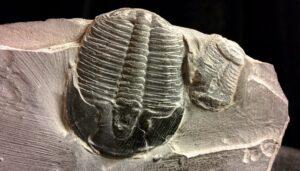 La imagen tiene un atributo ALT vacío; su nombre de archivo es Trilobite-300x171.jpg